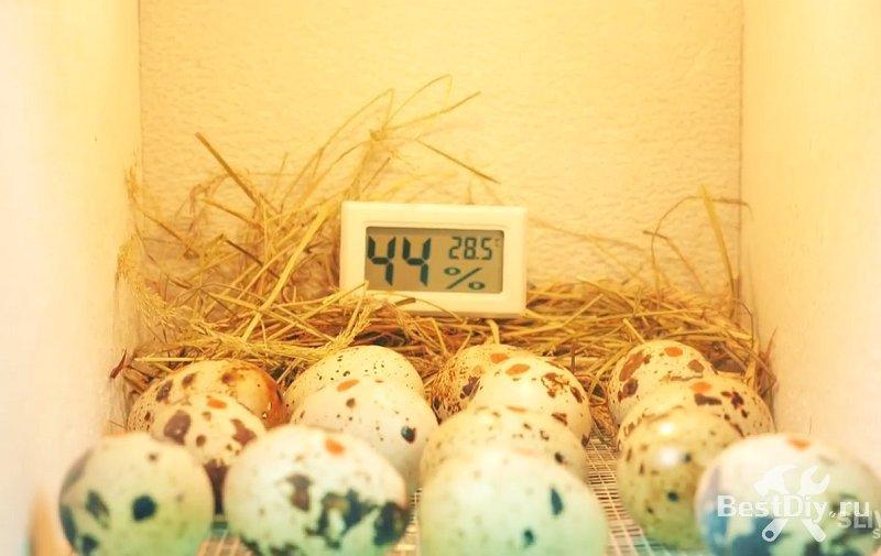 Перепелята из магазинных яиц, инкубатор своими руками